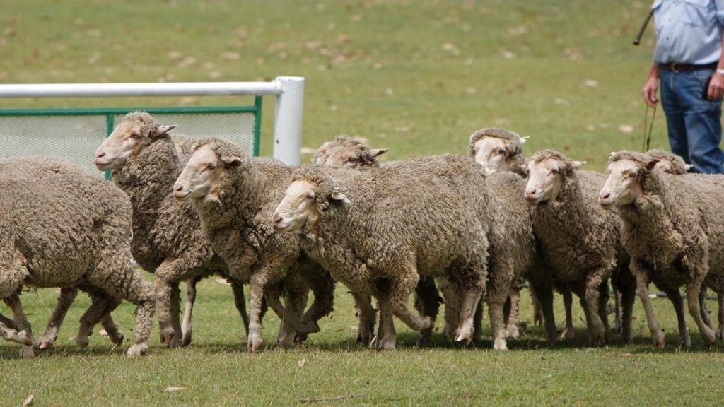 Commercial sheep farming